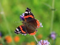 atlanta-vlinder